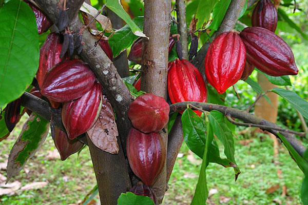 Сорта какао: туземцы и пришельцы