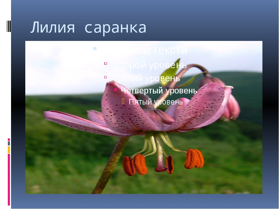 Лилия саранка