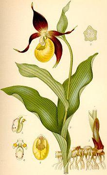 http://upload.wikimedia.org/wikipedia/commons/thumb/a/ab/Cypripedium_calceolus_guckusko.jpg/220px-Cypripedium_calceolus_guckusko.jpg