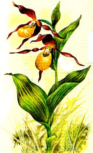 Венерин башмачок настоящий (жёлтый)