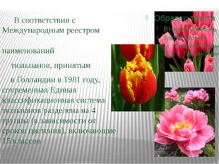 В соответствии с Международным реестром наименований тюльпанов, принятым в Г