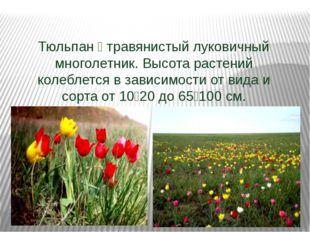 Тюльпан — травянистый луковичный многолетник. Высота растений колеблется в з