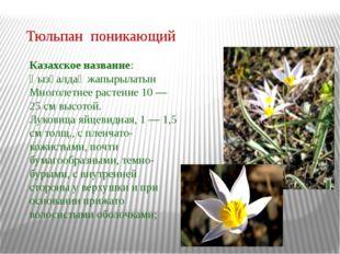 Тюльпан поникающий Казахское название: Қызғалдақ жапырылатын Многолетнее раст