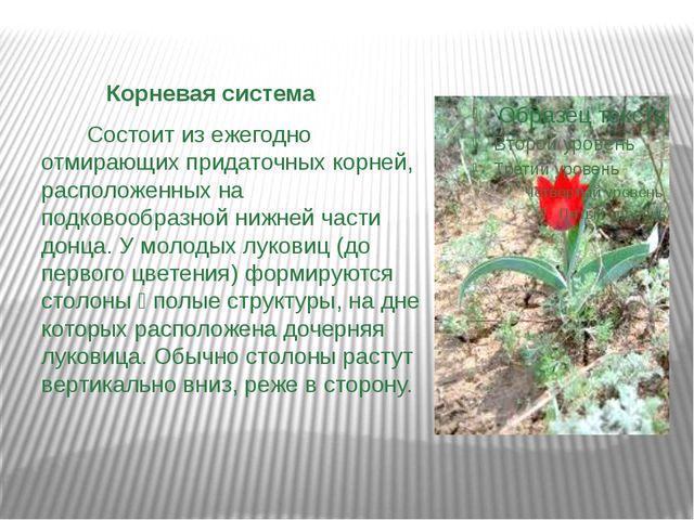 Корневая система Состоит из ежегодно отмирающих придаточных корней, располож...