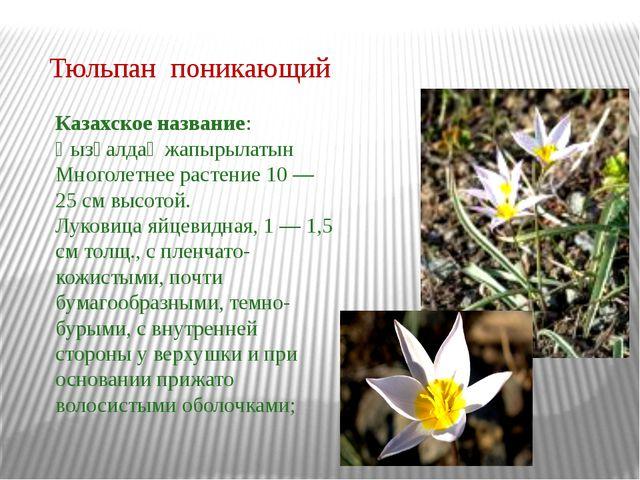 Тюльпан поникающий Казахское название: Қызғалдақ жапырылатын Многолетнее раст...