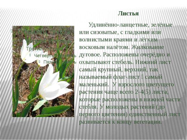 Листья Удлинённо-ланцетные, зелёные или сизоватые, с гладкими или волнистыми...