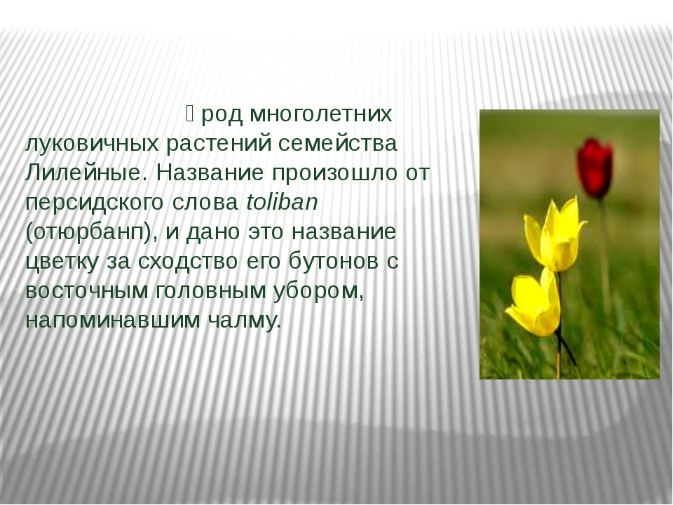 Тюльпа́н — род многолетних луковичных растений семейства Лилейные. Название...