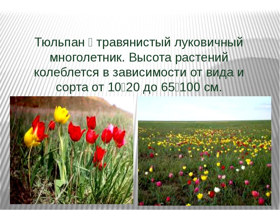 Тюльпан — травянистый луковичный многолетник. Высота растений колеблется в з...