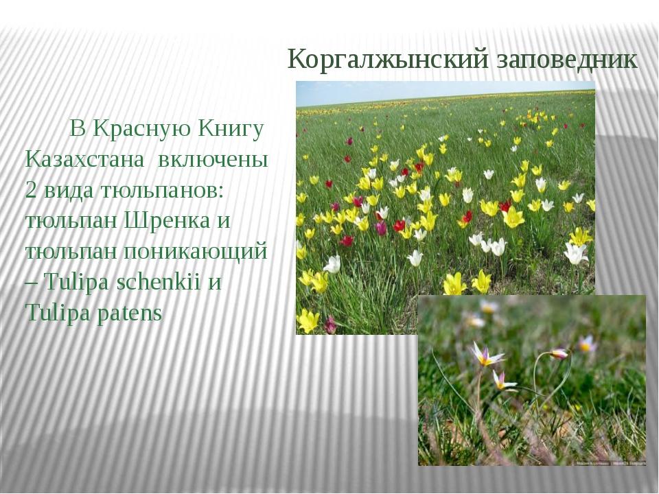 В Красную Книгу Казахстана включены 2 вида тюльпанов: тюльпан Шренка и тюльп...