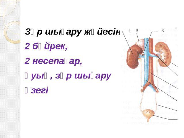 Зәр шығару жүйесіне: 2 бүйрек, 2 несепағар, қуық, зәр шығару өзегі