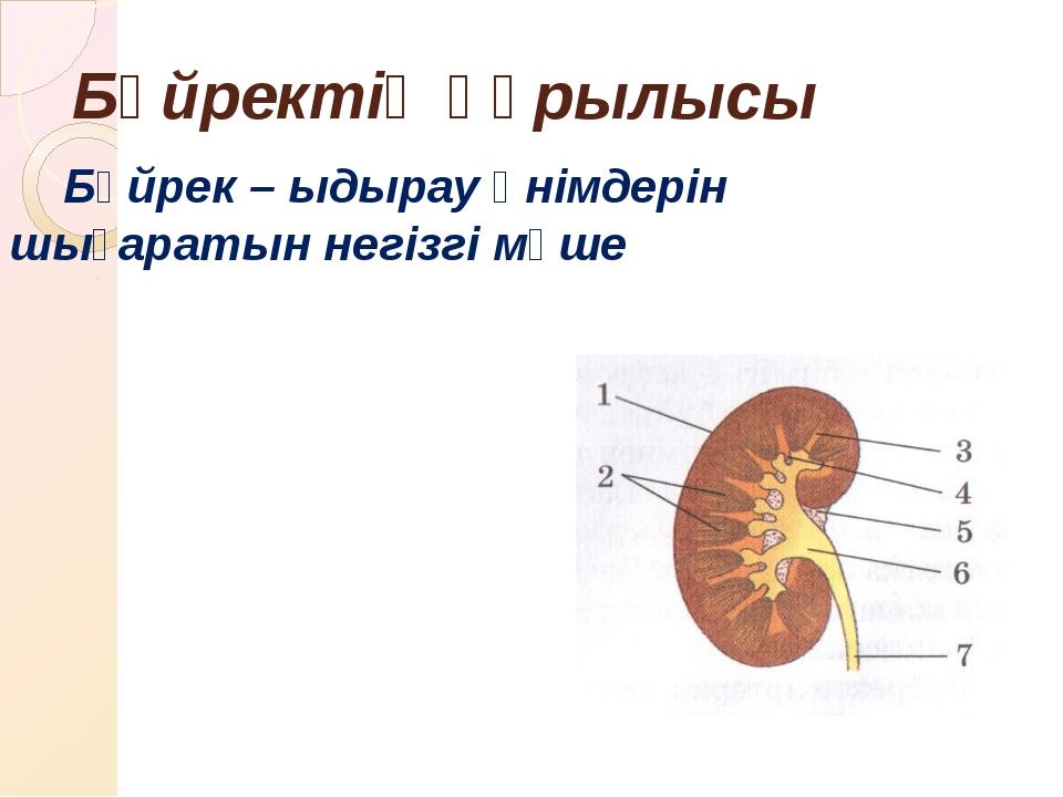 Бүйректің құрылысы Бүйрек – ыдырау өнімдерін шығаратын негізгі мүше