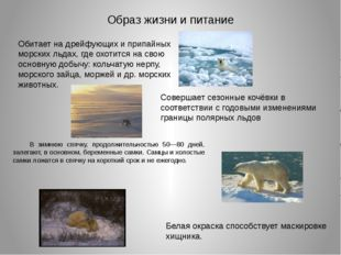 Образ жизни и питание Обитает на дрейфующих и припайных морских льдах, где ох