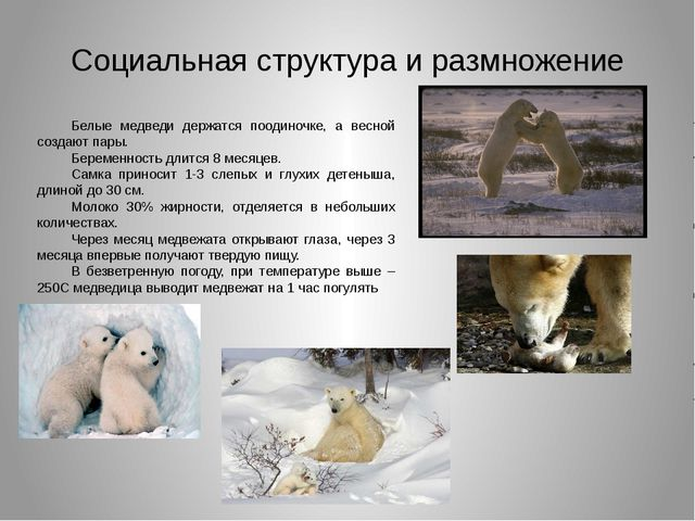 Социальная структура и размножение Белые медведи держатся поодиночке, а весно...