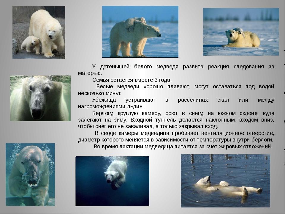 У детенышей белого медведя развита реакция следования за матерью. Семья остае...