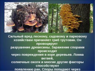 Сильный вред лесному, садовому и парковому хозяйствам причиняет гриб трутовик