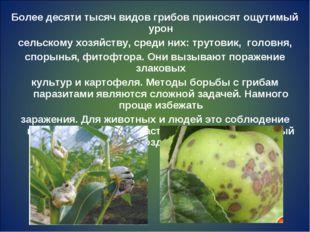 Более десяти тысяч видов грибов приносят ощутимый урон сельскому хозяйству, с