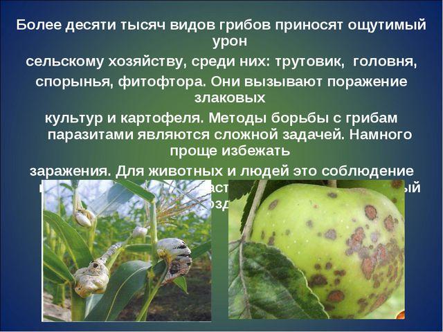 Более десяти тысяч видов грибов приносят ощутимый урон сельскому хозяйству, с...