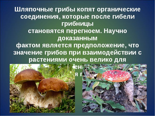 Шляпочные грибы копят органические соединения, которые после гибели грибницы...