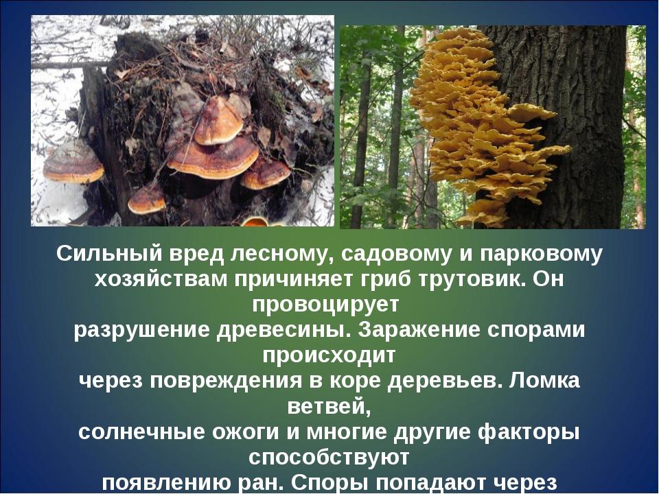Сильный вред лесному, садовому и парковому хозяйствам причиняет гриб трутовик...