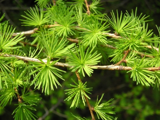 larch-needles.jpg