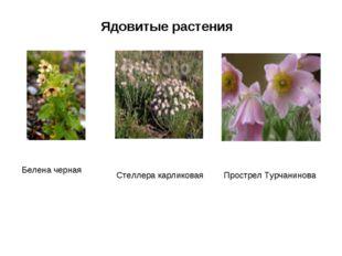 Ядовитые растения Белена черная Стеллера карликовая Прострел Турчанинова