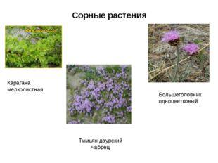 Сорные растения Карагана мелколистная Тимьян даурский чабрец Большеголовник о