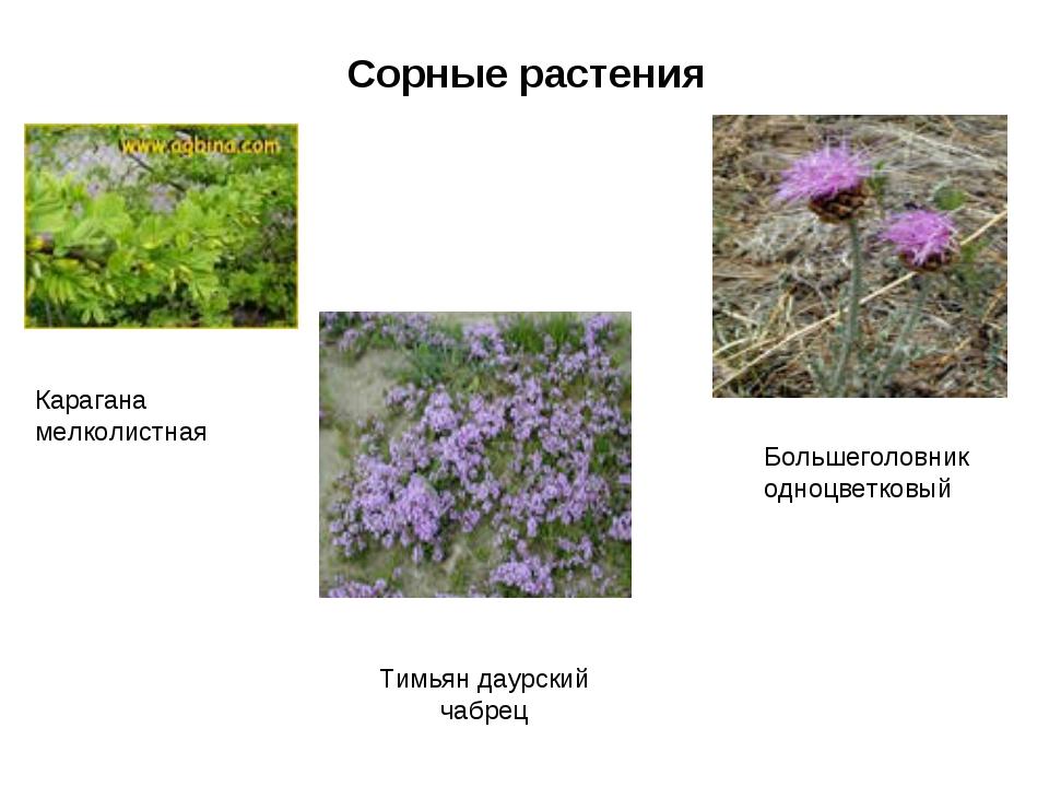 Сорные растения Карагана мелколистная Тимьян даурский чабрец Большеголовник о...