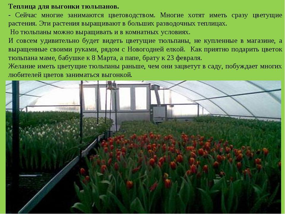 Выращивание тюльпанов в зимней теплице 95