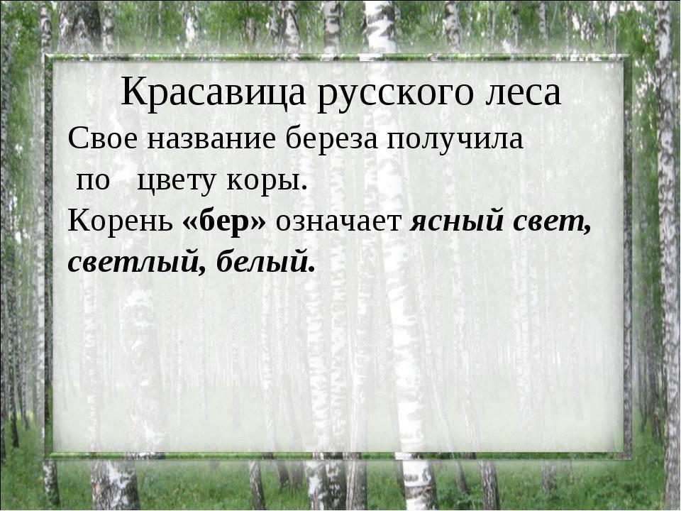 Красавица русского леса Свое название береза получила по цвету коры. Корень...