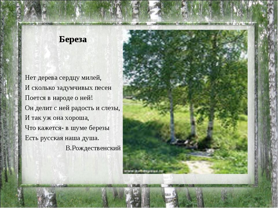 Береза Нет дерева сердцу милей, И сколько задумчивых песен Поется в народе о...