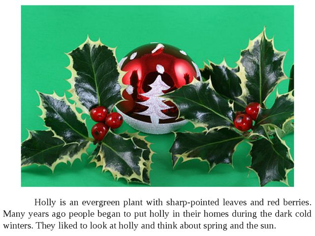 Holly is an evergreen plant with sharp-pointed leaves and red berries. Many...