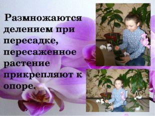 Размножаются делением при пересадке, пересаженное растение прикрепляют к опо