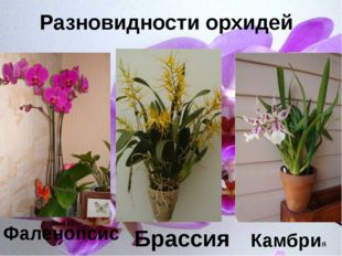 Р Фаленопсис Брассия Камбрия Разновидности орхидей