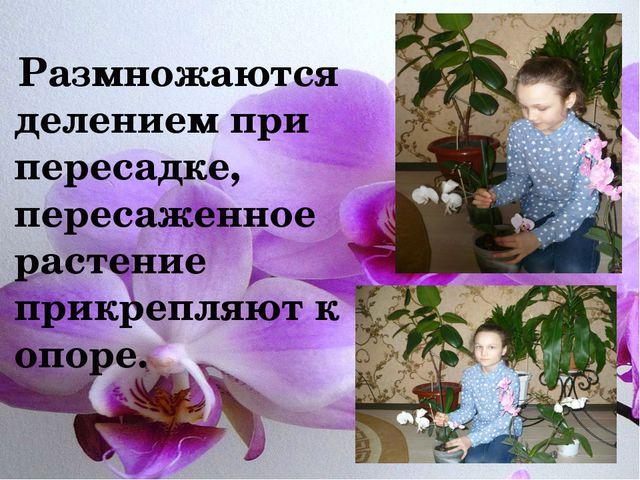 Размножаются делением при пересадке, пересаженное растение прикрепляют к опо...