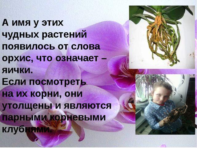 А имя у этих чудных растений появилось от слова орхис, что означает – яички....