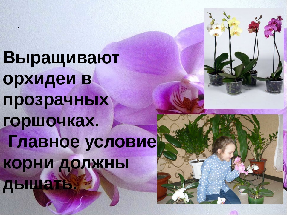 . Выращивают орхидеи в прозрачных горшочках. Главное условие - корни должны...