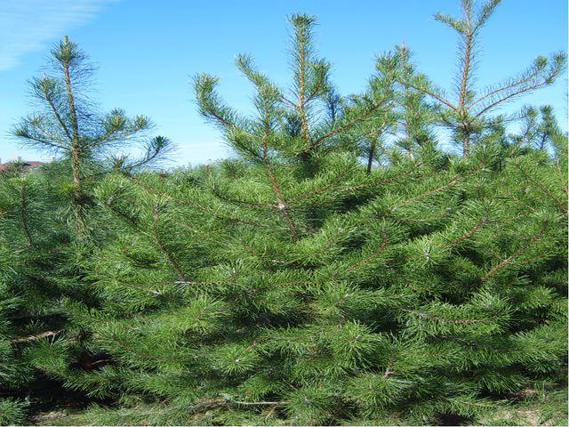 Это высокое и могучее дерево целиком идет в дело, без остатка - от корней до...
