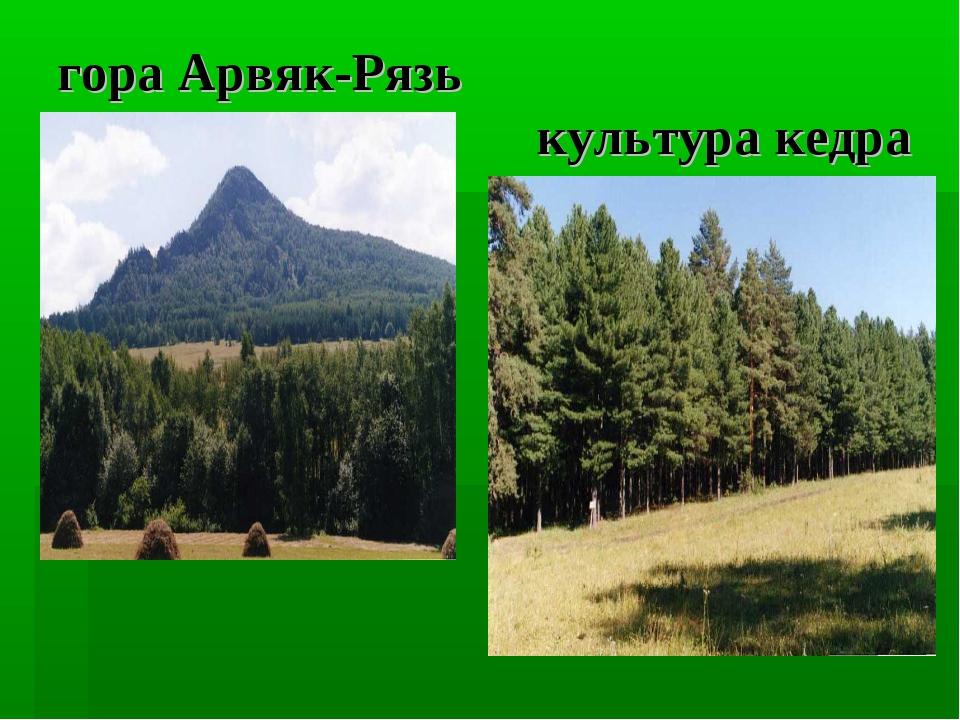 гора Арвяк-Рязь культура кедра