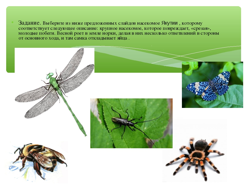 Задание. Выберите из ниже предложенных слайдов насекомое Якутии , которому со...