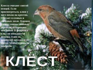 Клеста считают святой птицей. Если присмотреться, клюв у него похож на крести