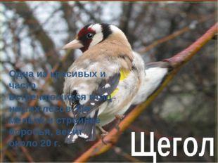 Одна из красивых и часто встречающихся птиц наших лесов. Он мельче и стройнее