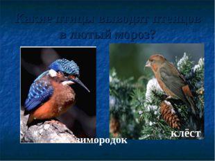Какие птицы выводят птенцов в лютый мороз? зимородок клёст