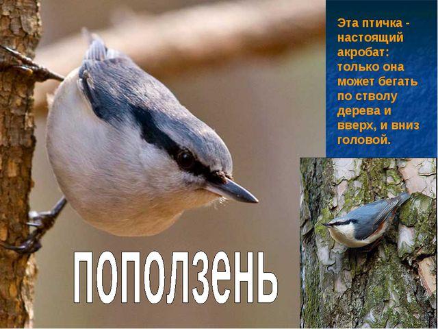 Эта птичка - настоящий акробат: только она может бегать по стволу дерева и вв...