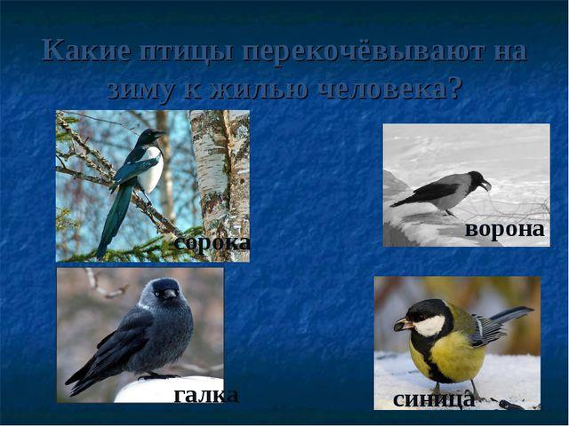 Какие птицы перекочёвывают на зиму к жилью человека? сорока галка ворона синица