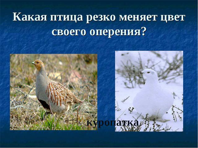 Какая птица резко меняет цвет своего оперения? куропатка