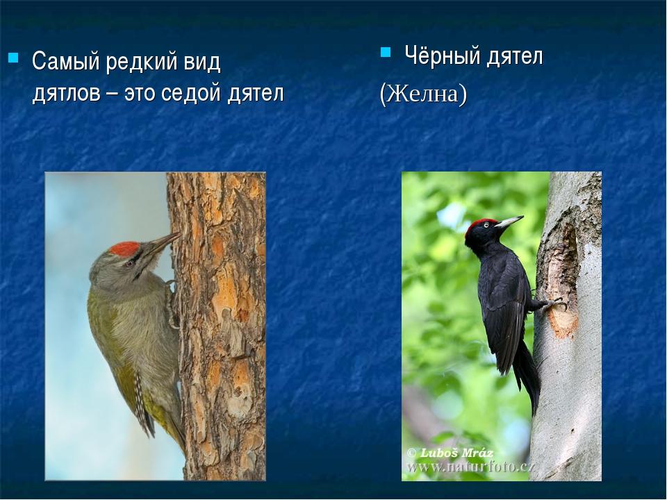 Самый редкий вид дятлов – это седой дятел Чёрный дятел (Желна)