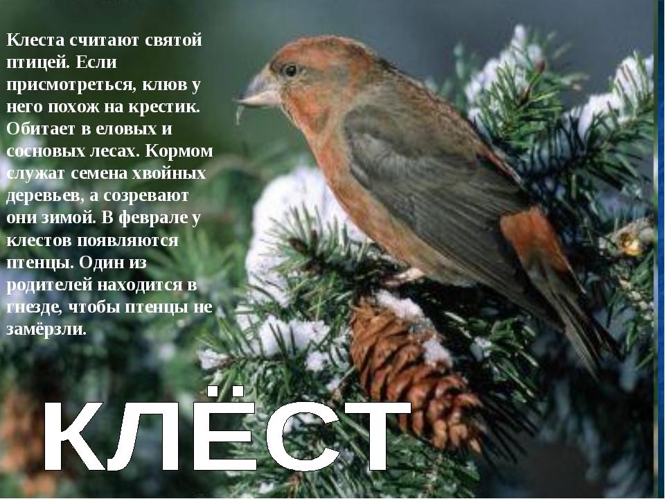 Клеста считают святой птицей. Если присмотреться, клюв у него похож на крести...