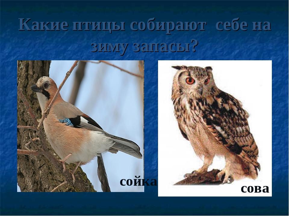 Какие птицы собирают себе на зиму запасы? сойка сова