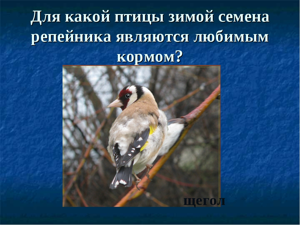 Для какой птицы зимой семена репейника являются любимым кормом? щегол