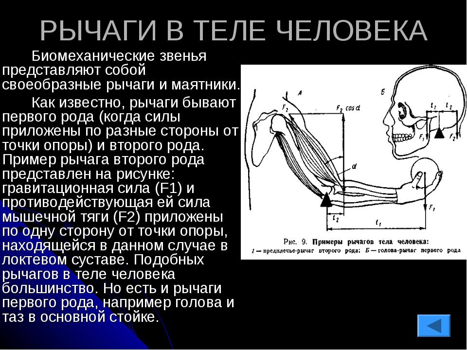 РЫЧАГИ В ТЕЛЕ ЧЕЛОВЕКА Биомеханические звенья представляют собой своеобразн...